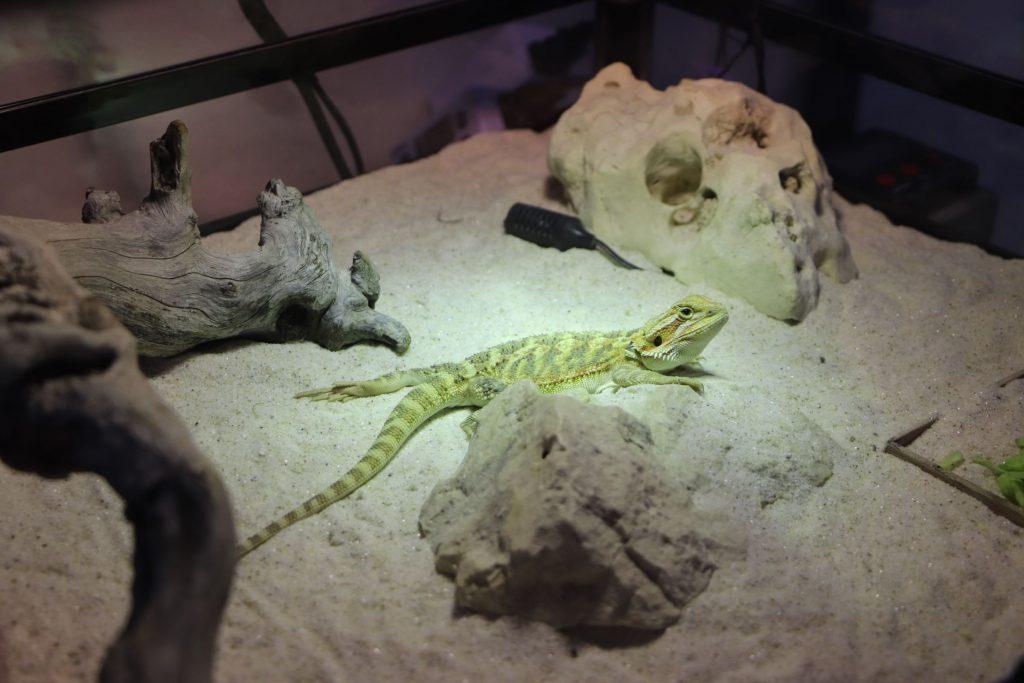 蜥蜴是李霽最近才開始養的寵物。攝影/林嘉柔
